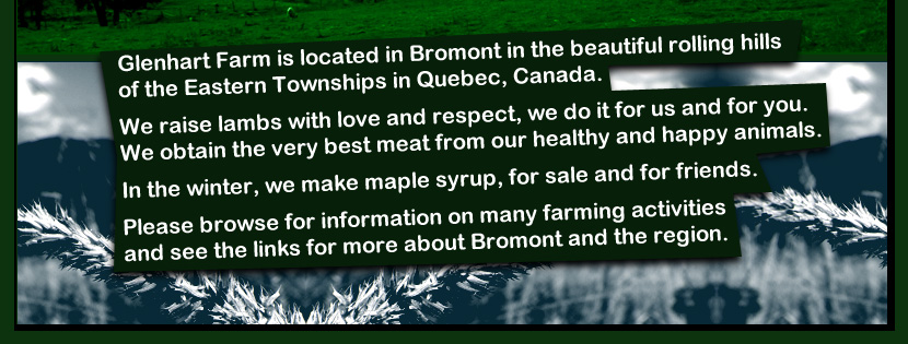 glenhart, farm, ferme, moutons, sheep, lambs, lamb, agneau, agneaux, happy, meat, maple, syrup, viande, bromont